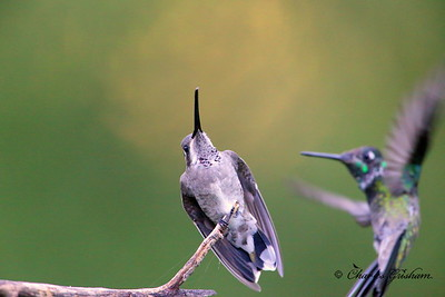 Plain-capped Starthroat / Southeast Arizona / Madera Canyon / September 5, 2014 / ISO 6400