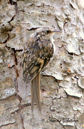 Brown Creeper / Southeast Arizona / Mount Graham / September 4, 2014 / GPS