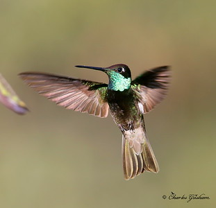 Magnificent Hummingbird / Southeast Arizona / Madera Canyon / September 5, 2014 / GPS