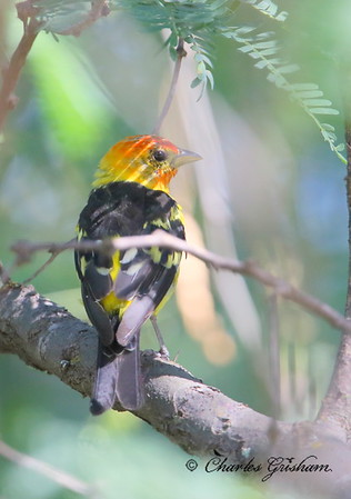 Western Tanager / Southeast Arizona / Patagonia Preserve / August 29, 2014 / GPS