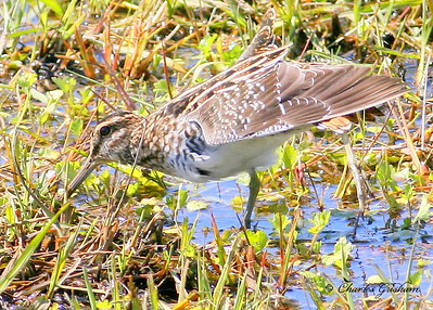 Common Snipe at Hampton Cove in north Alabama. Canon 400d with 400 5.6L lens.