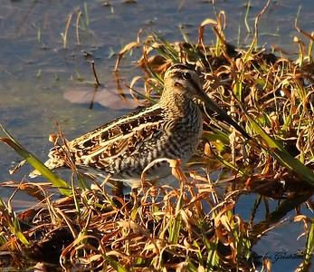 Wilson's Snipe near Hampton Cove in north Alabama.