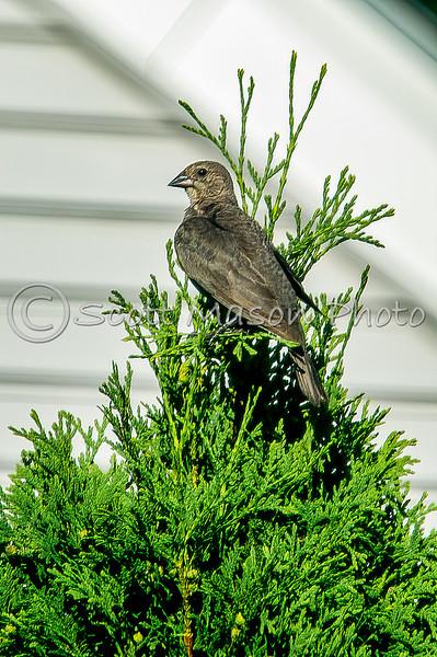 Brown headed Cowbird - Female