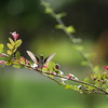 Female Ruby-throated hummingbird takes flight