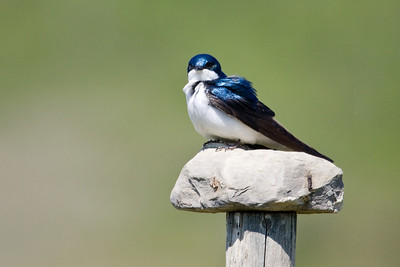While fence posts are a common resting place for many of the birds in my local area, this swallow chose to rest on one of the fence posts which has a rock balanced on top of it.