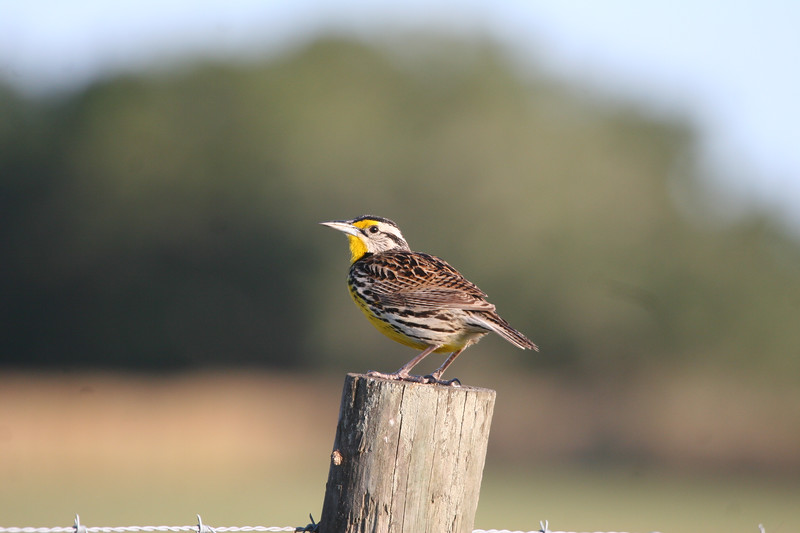 Meadowlark on a field post