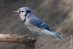 Sept 21st: Blue Jay in Central Park (Tanner's Spring)