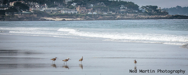 Sandpipers on the Carmel Beach.