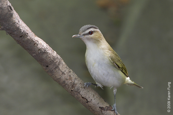 May 13th: Red-eyed Vireo in Central Park