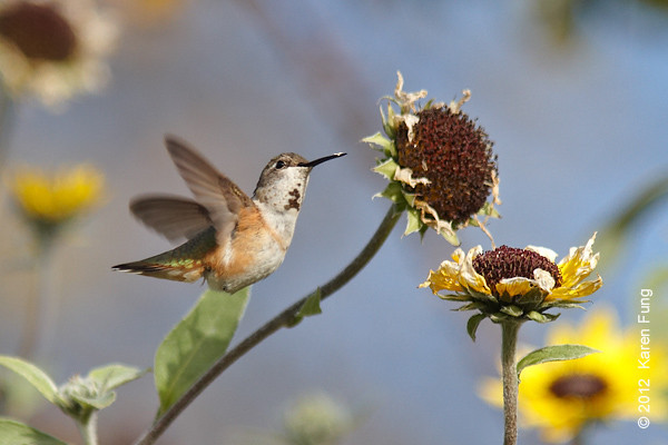 19 November: Rufous Hummingbird in Central Park