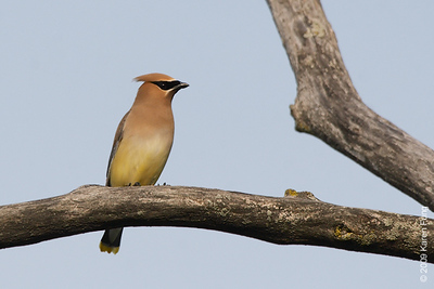 May 25th: Cedar Waxwing in Rockland County