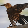 Young female boat-tailed grackle