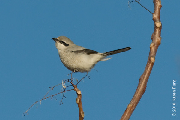 6 March: Northern Shrike in DeKorte Park (North Arlington, NJ)