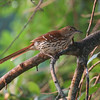 Brown thrasher in tree