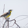 Western Meadowlark singing:  beautiful song!!!!