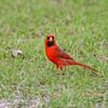 Male Cardinal SS50061