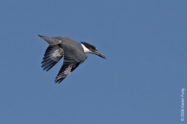 Sept 1st: Belted Kingfisher at Jamaica Bay Wildlife Refuge