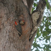 Pair of ladderback woodpeckers at their nest in an tree