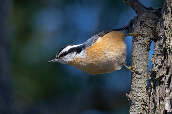 10 Oct: Red-breasted Nuthatch at Jones Beach