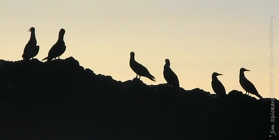 Booby Silhouettes