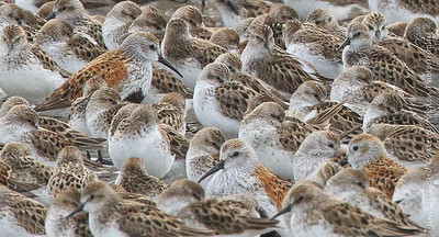 Massed Shorebirds