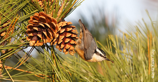 18 November: Red-breasted Nuthatch in Suffolk County