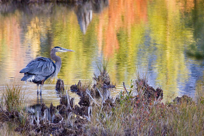 Blue heron in a fall sunset - Vermillion Lakes, Banff National Park ALBERTA