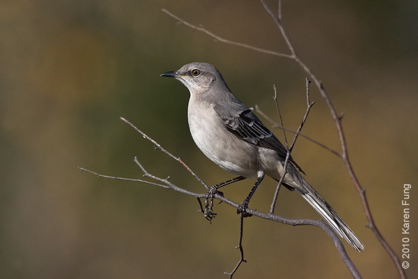 21 November: Northern Mockingbird in Stamford, CT