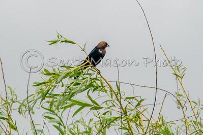 Brown Headed Cowbird - Male