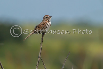 Song Sparrow @ Moonstone Beach