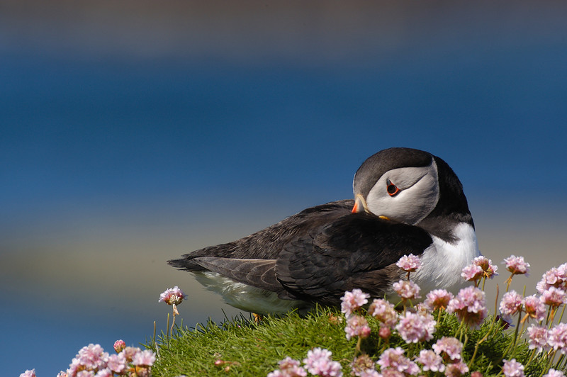 TSC-5067:Atlantic Puffin on sea pink flowers (Fratercula arctica)-My wife and I chartered a boat on the Isle of Mull to take out to this small island. We had the island to ourselves for about 4 hours until another boat dropped off 20 to 30 individuals.