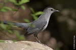 April 28th: Gray Catbird in Central Park