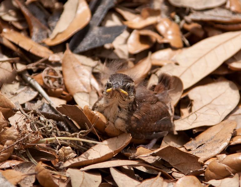 Fledging Baby Carolina Wren in the leaves