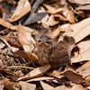 Fledging Baby Carolina Wren in the leaves