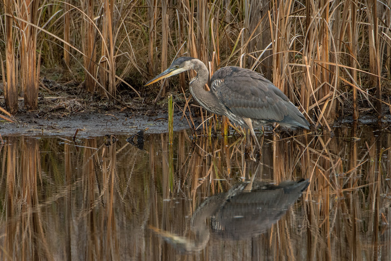 Great Blue Heron and reflection