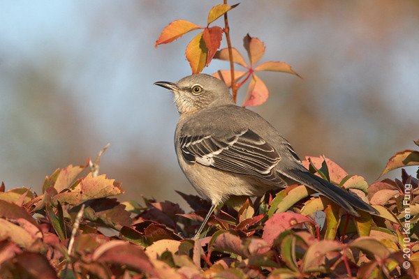 17 Oct: Northern Mockingbird at Jones Beach