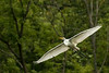 Great Egret fly-by
