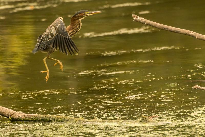 Green Heron jumping