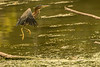 Green Heron jumping