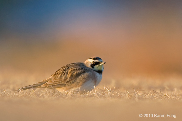21 February: Horned Lark at Jones Beach at dawn