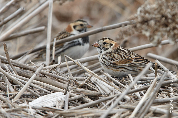 23 March: Lapland Longspurs at Jones Beach