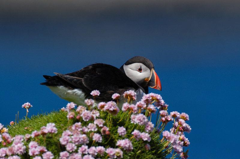 TSC-5055: Atlantic Puffin resting on sea pink-(Fratercula arctica) The small cluster of sea pink flowers were used frequently by puffins to rest on.