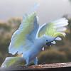 Sulphur-crested Cockatoo [Cacatua galerita]