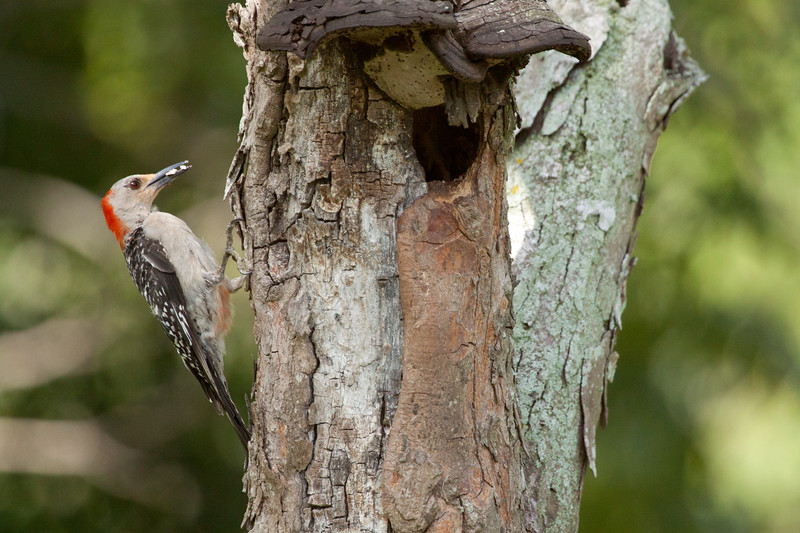 Red-bellied Woodpecker_SS2034