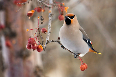 Cedar waxwing with a crab-apple feast (late fall)