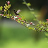 Female Ruby-throated hummingbird takes flight