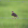 Meadowlark sits on barbed wire fence