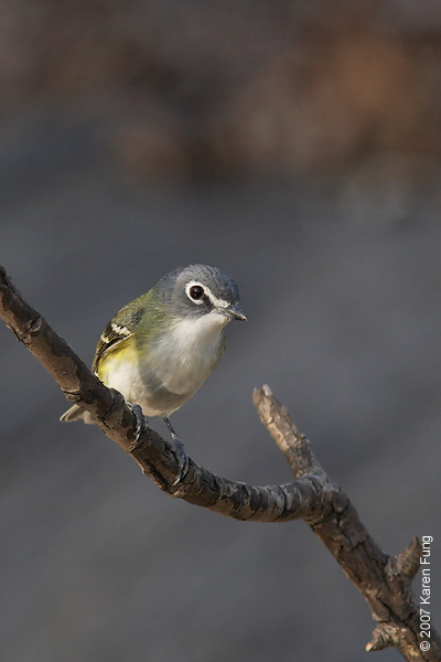 Blue-headed Vireo in Central Park (Tanner's Spring)