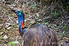 Young Cassowary