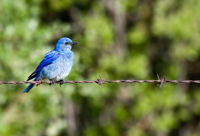 Bluebird_20090613_055